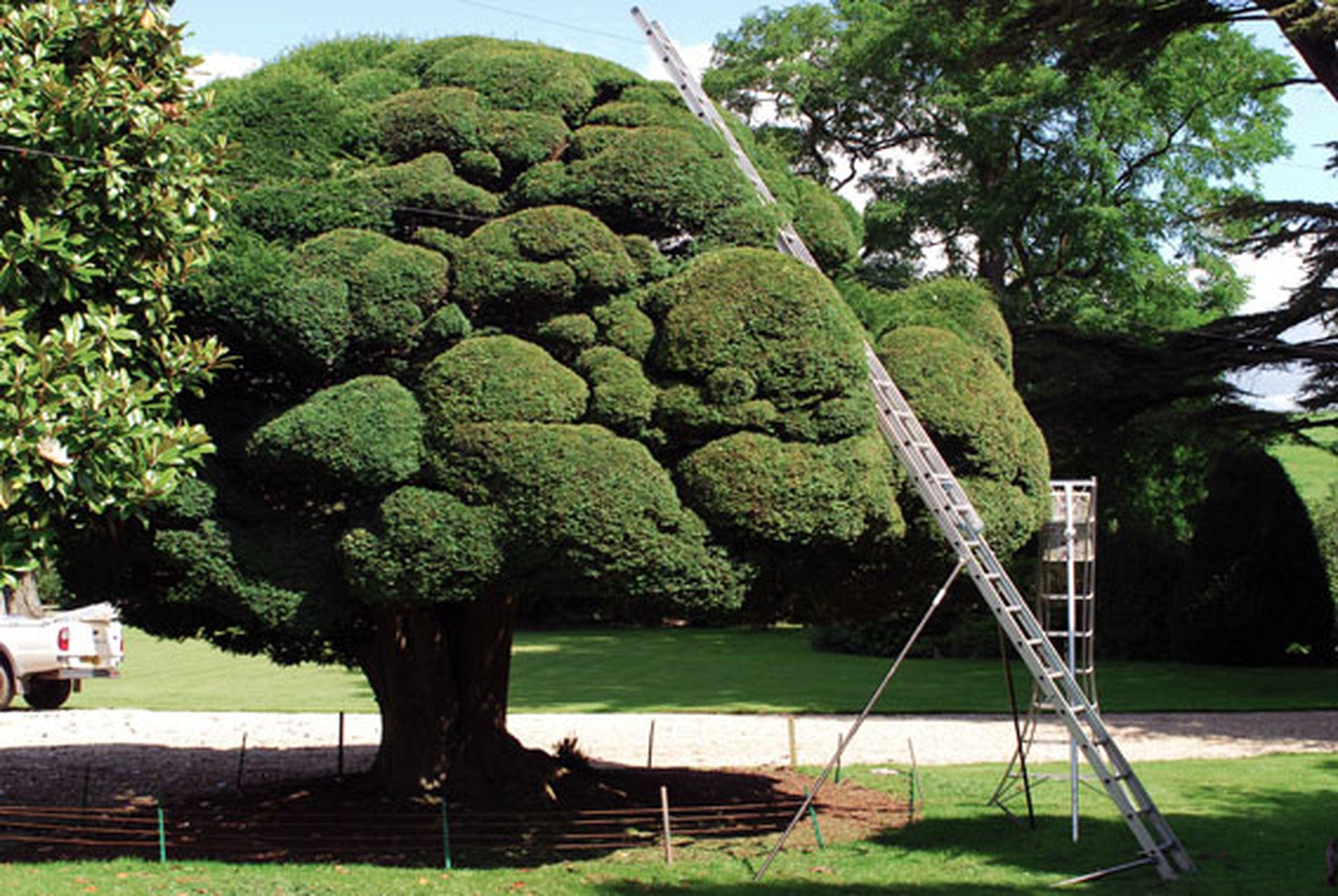 Niwaki The Most Amazing Yew Tree
