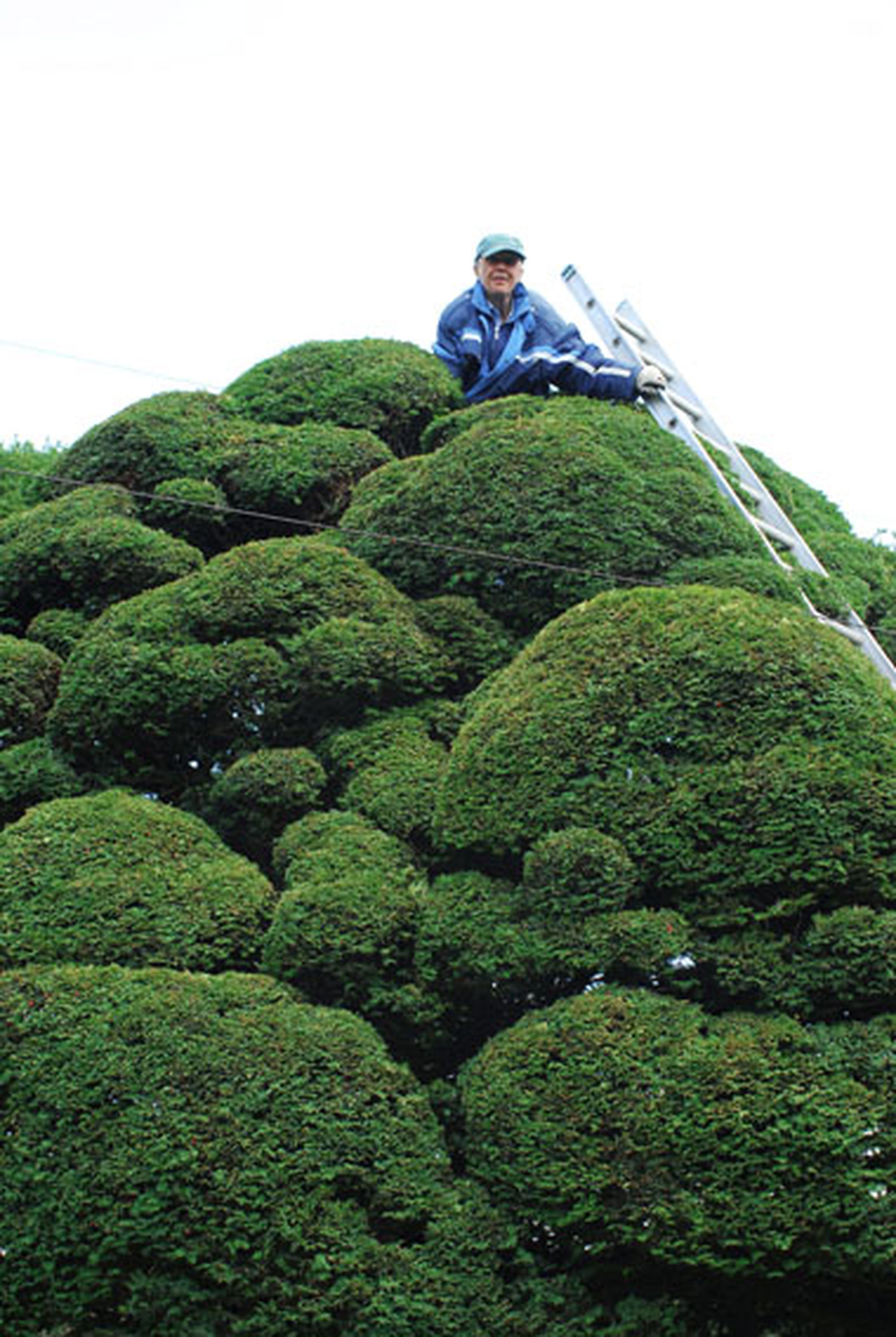 Ladders For Sale >> Niwaki - The Most Amazing Yew Tree