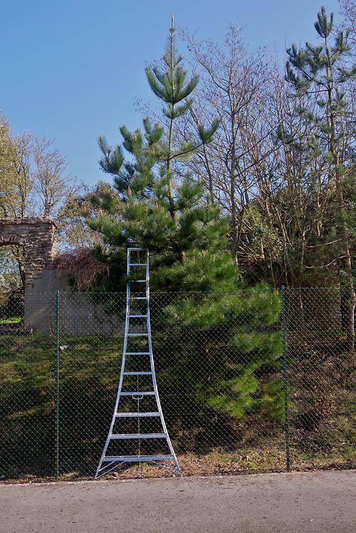 niwaki pine pruning1