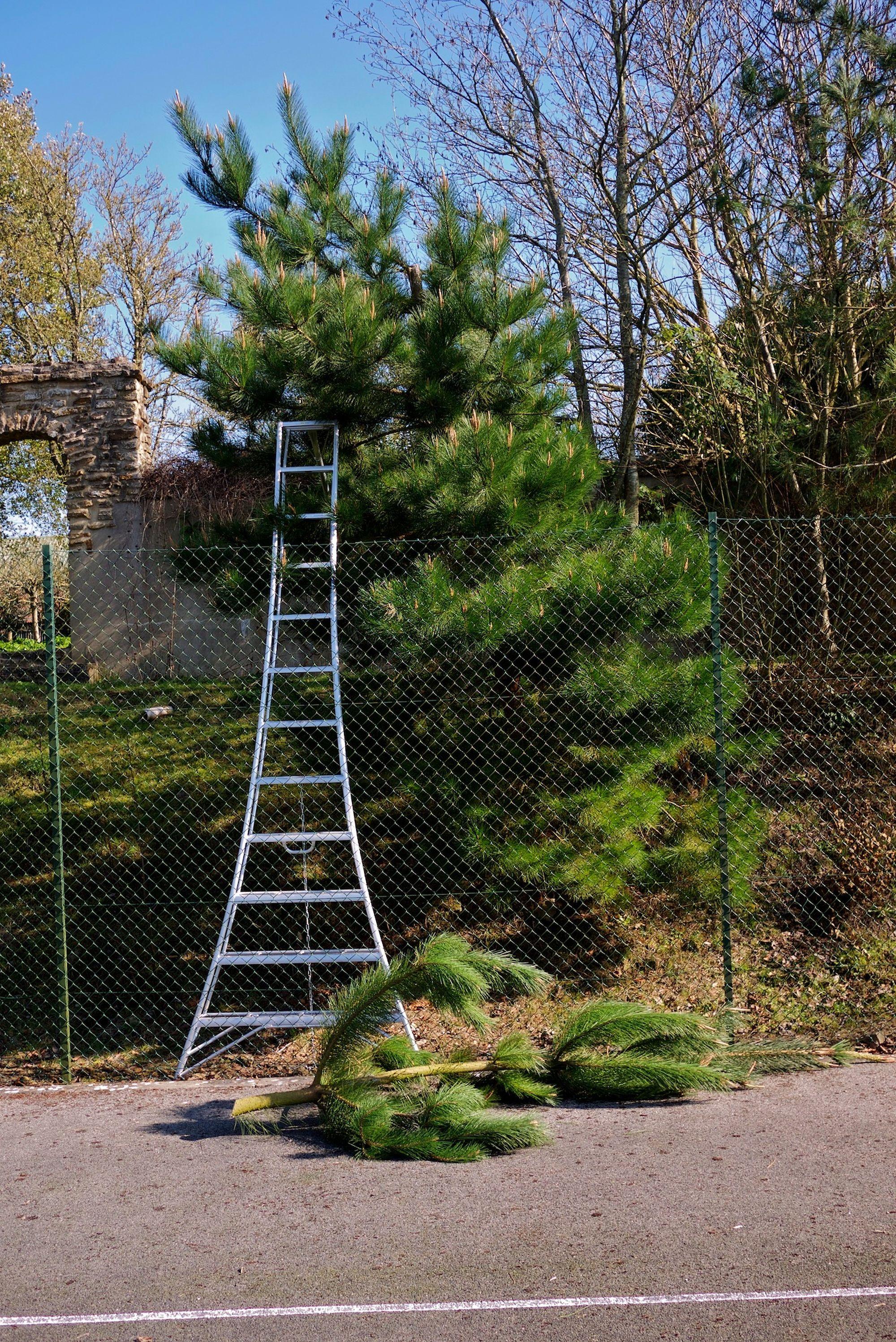 niwaki pine pruning2