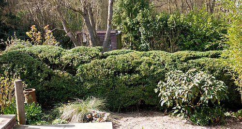 cloud pruned box hedge 3