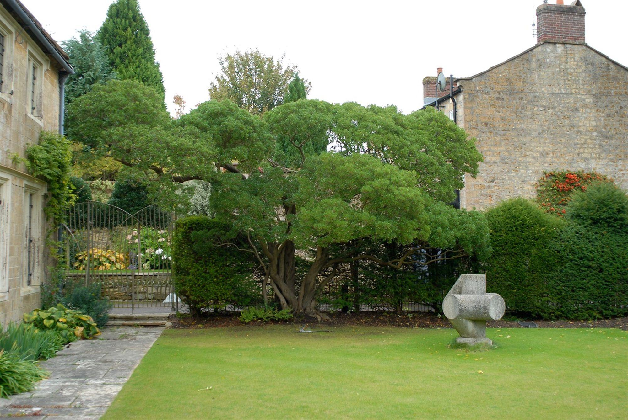 Phillyrea latifolia 3