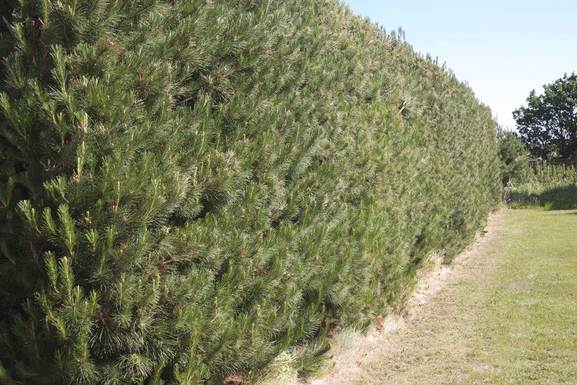 pine hedge