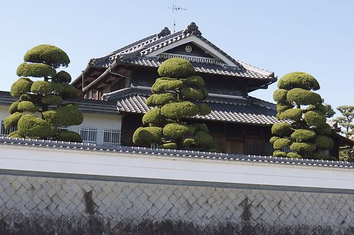 juniper niwaki