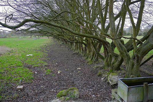 hornbeam hedge?