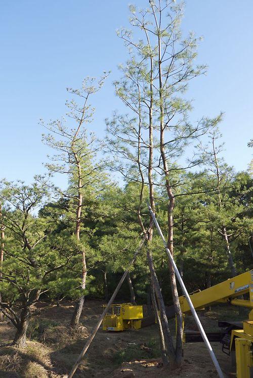 japanese red pine