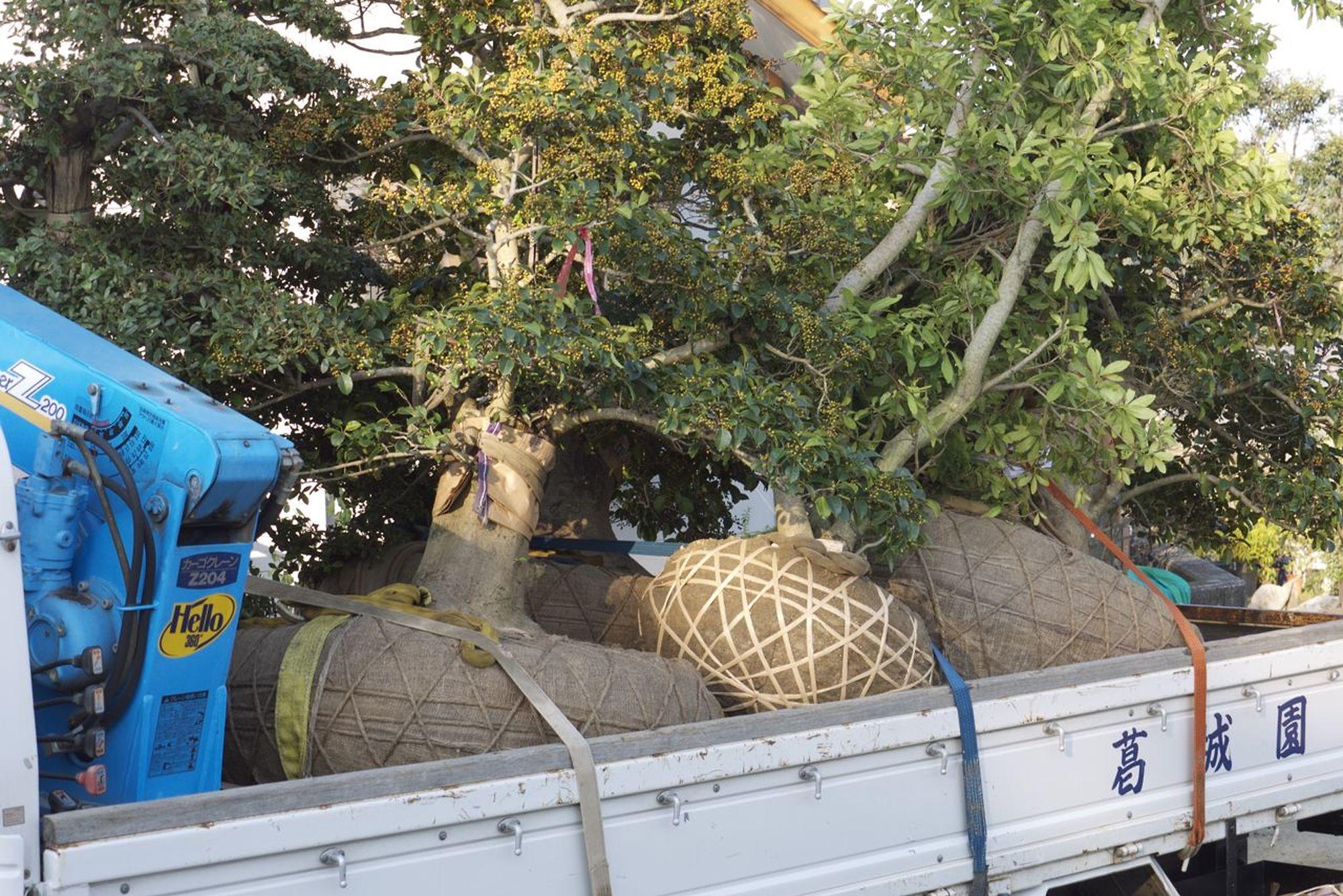 rootballed trees