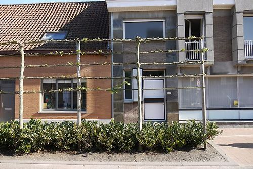 pleached limes 2