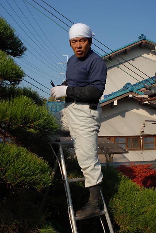 pine pruning gardener