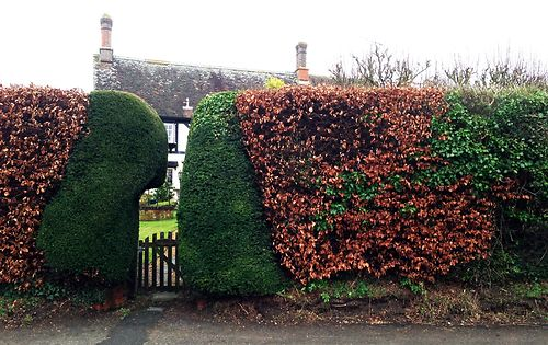 beech and yew hedge 1