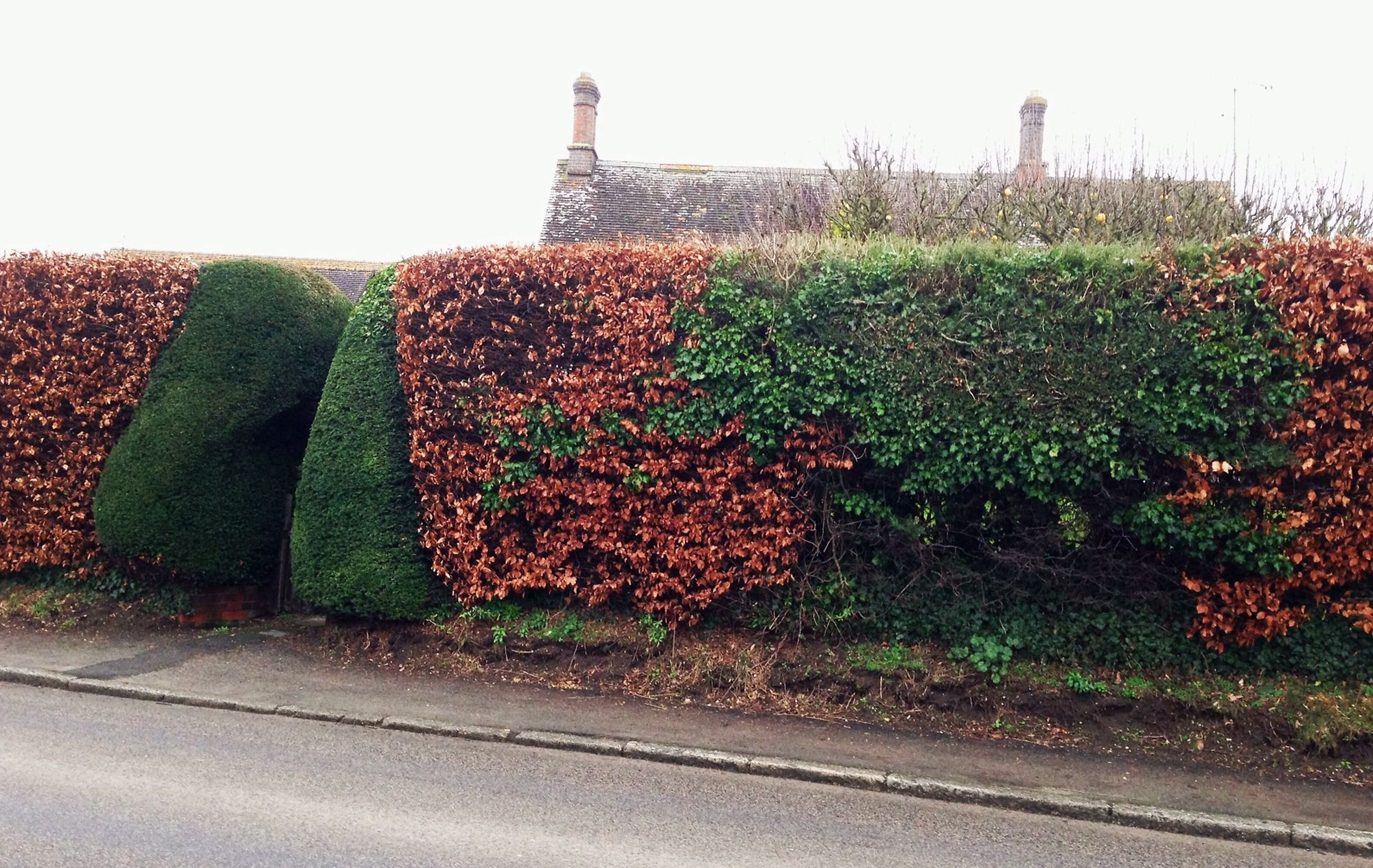 beech and yew hedge 2