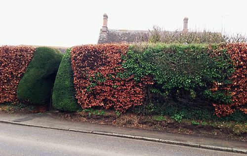 beech and yew hedge 2