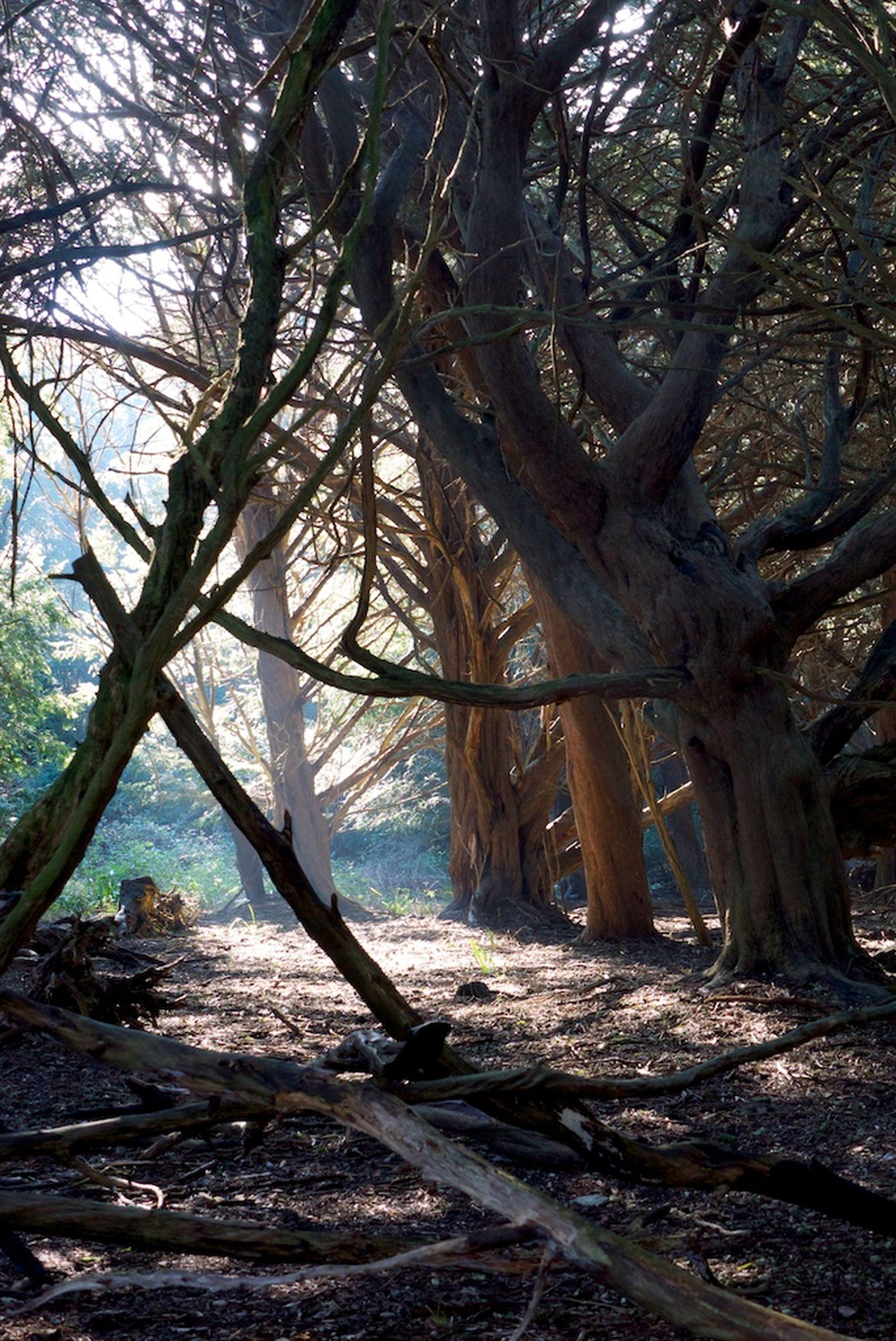yew wood1