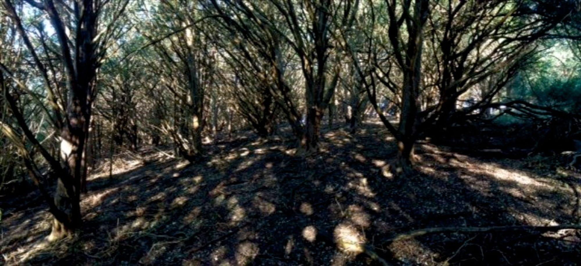 yew wood2