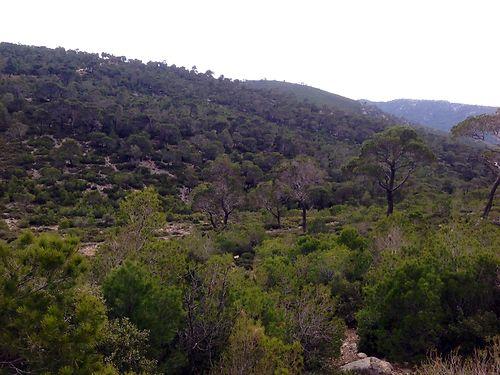 aleppo pines