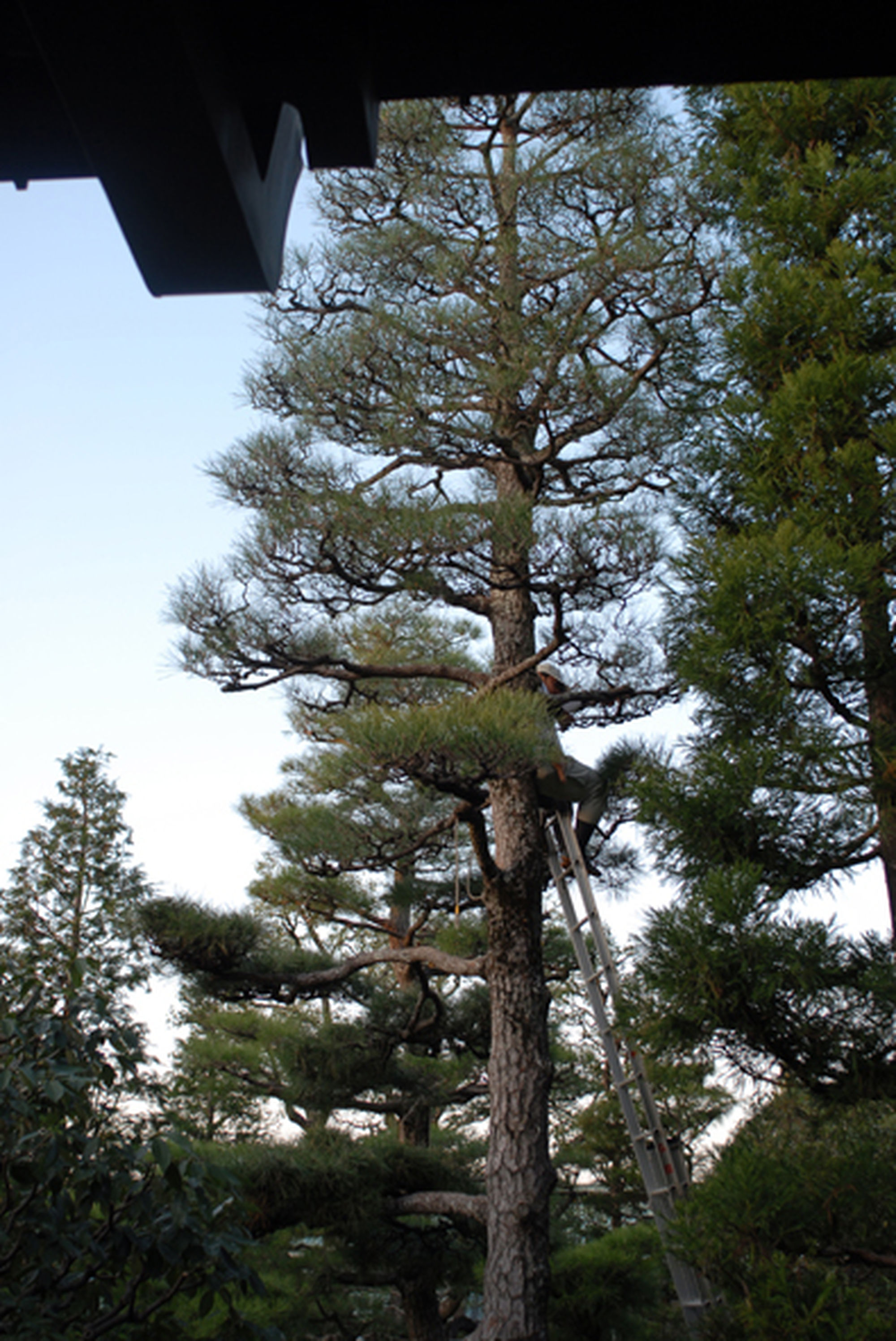 cryptomeria pruning