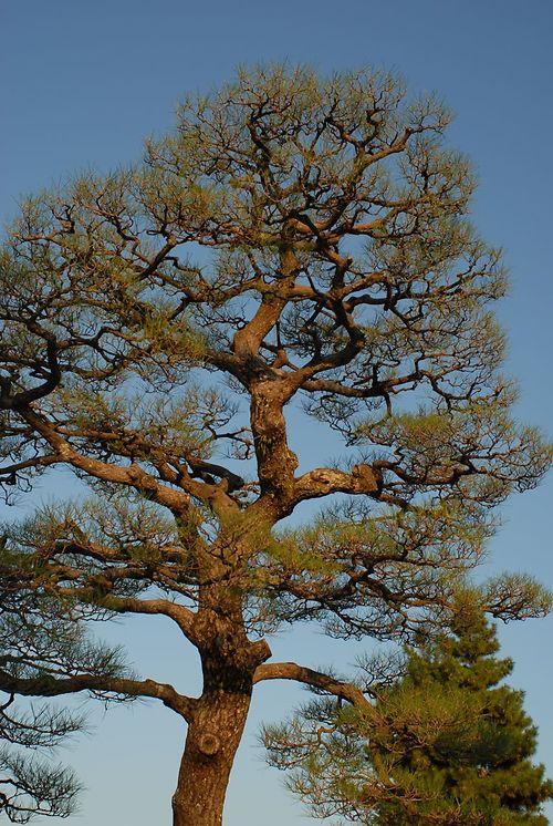Japanese Tree Pruning