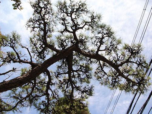 monkaburi pine