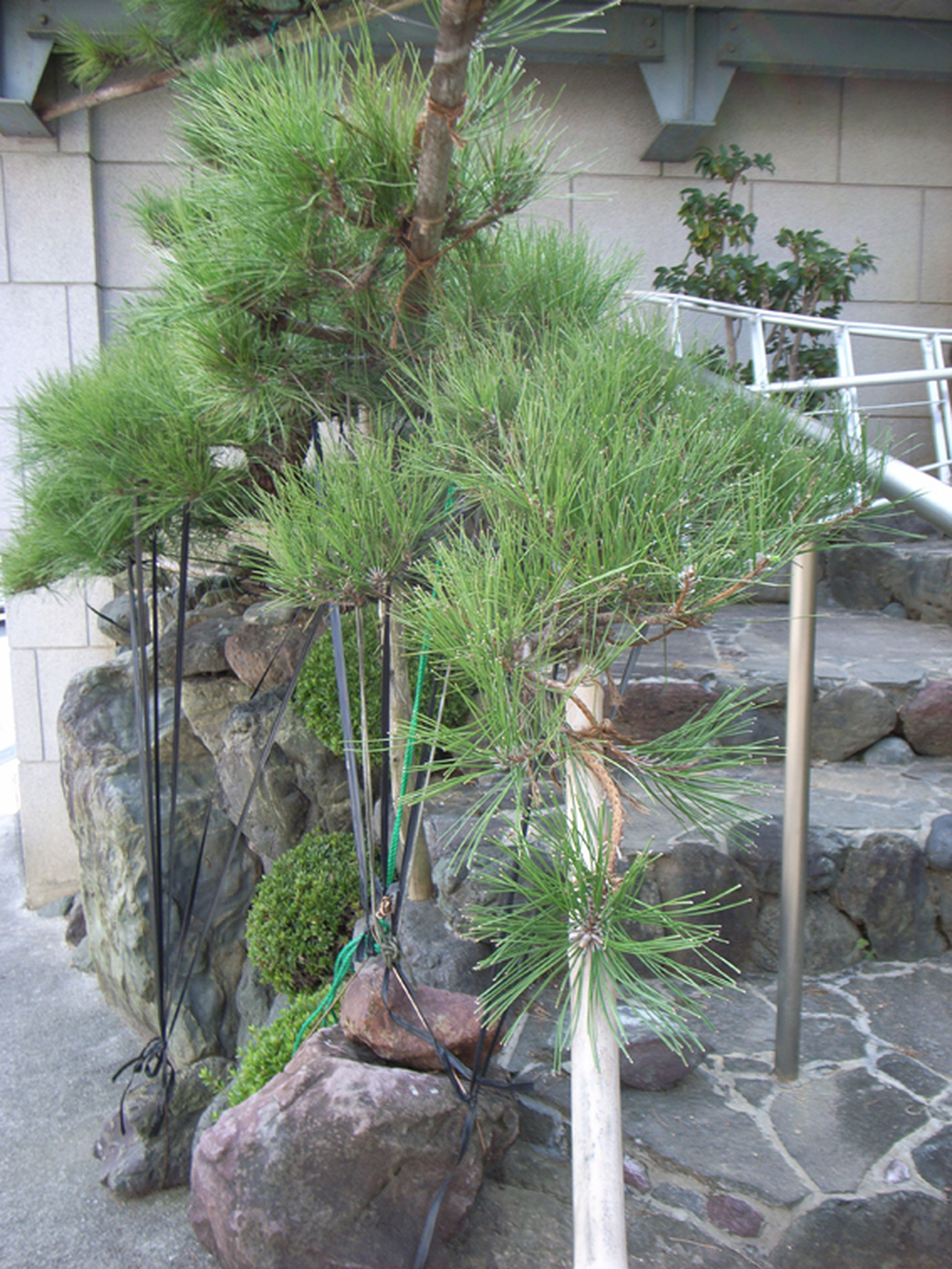 monkaburi  japanese pine