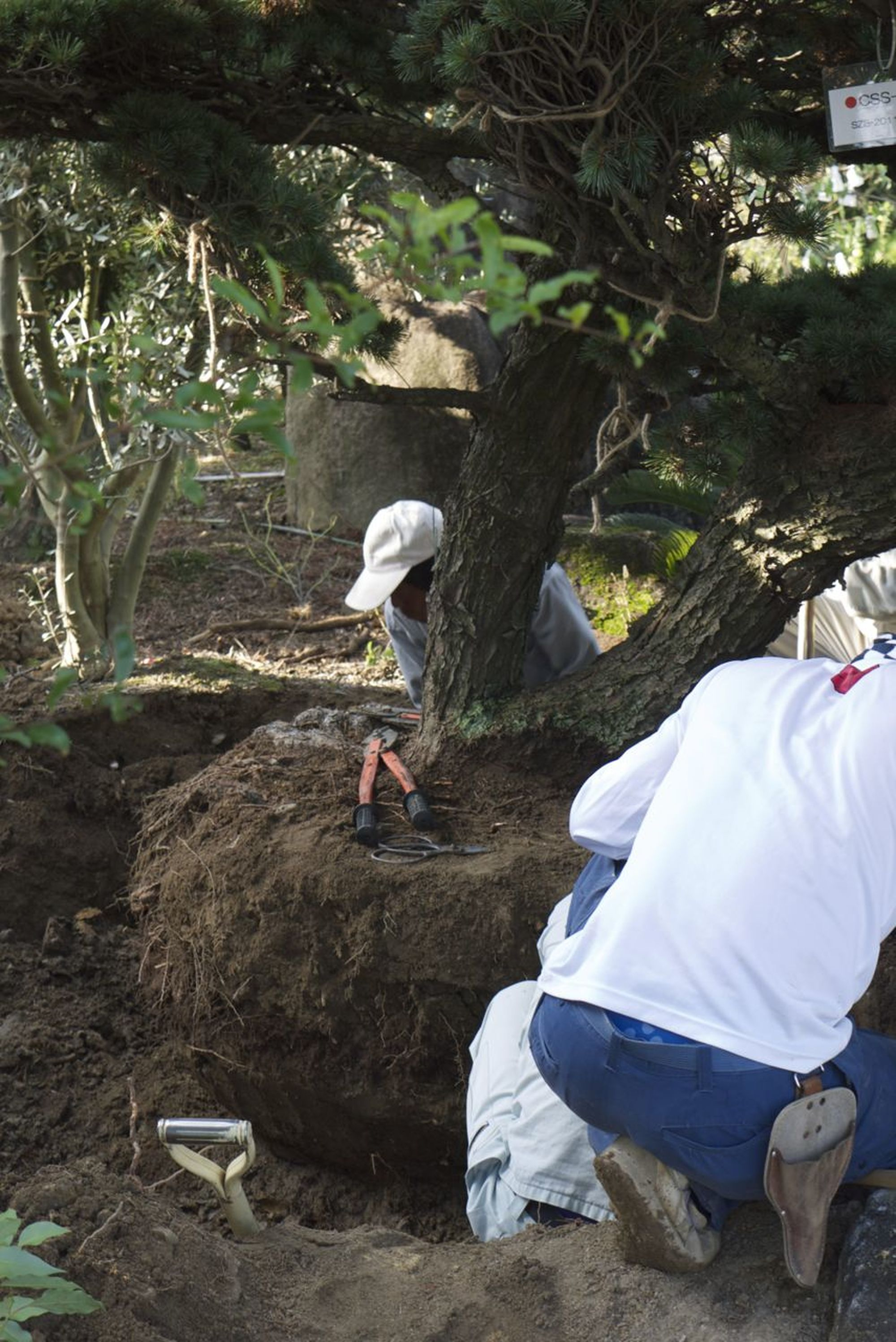 Rootballing a Japanese White Pine 2