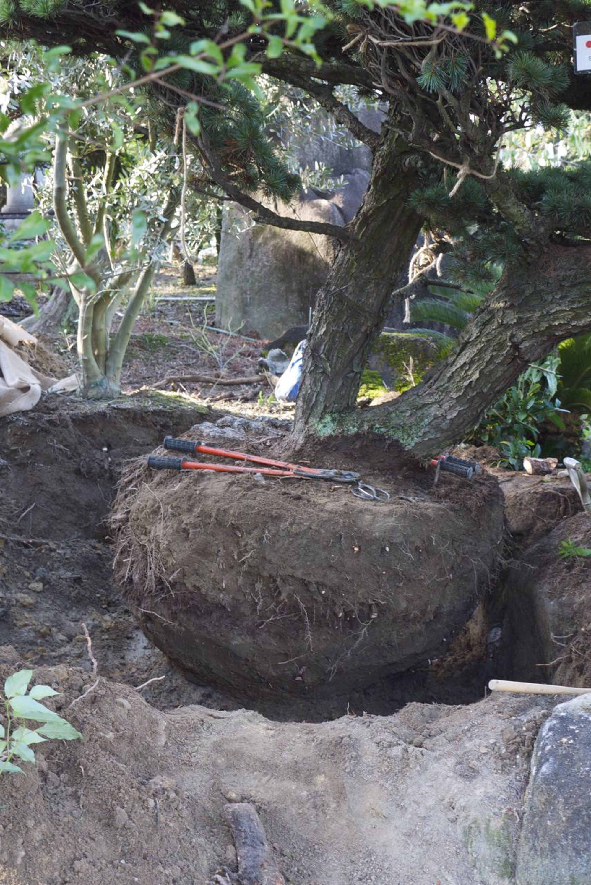 Rootballing a Japanese White Pine 4