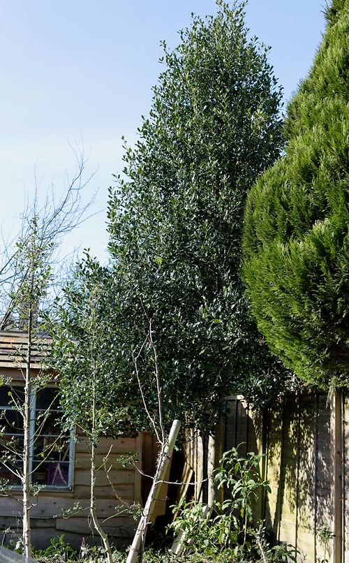 holly pruning 1