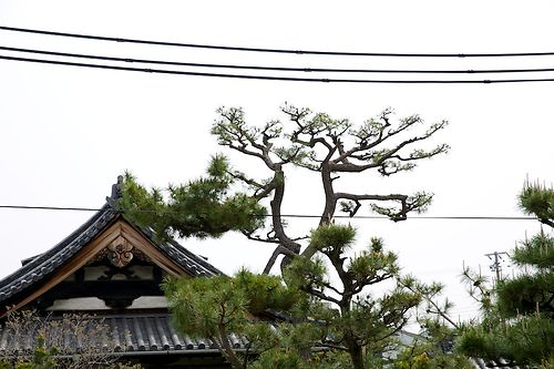 Pine Pruning at Nanshu-ji 1