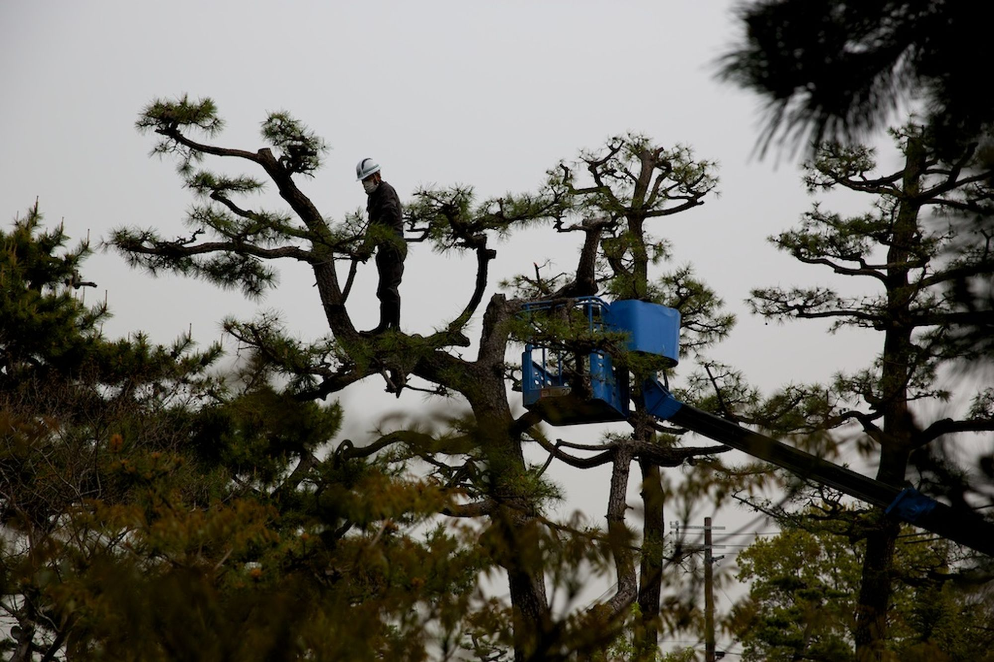 Pine Pruning at Nanshu-ji 2