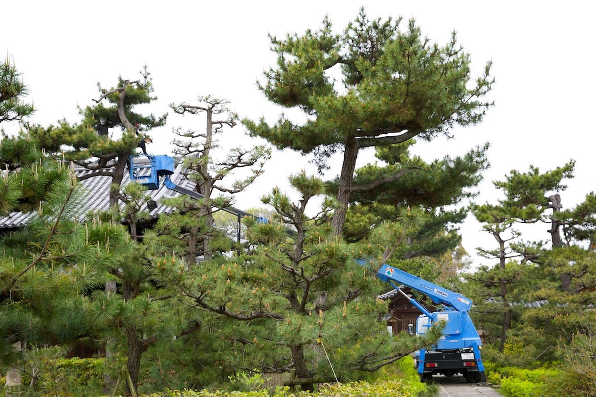 Pine Pruning at Nanshu-ji 3