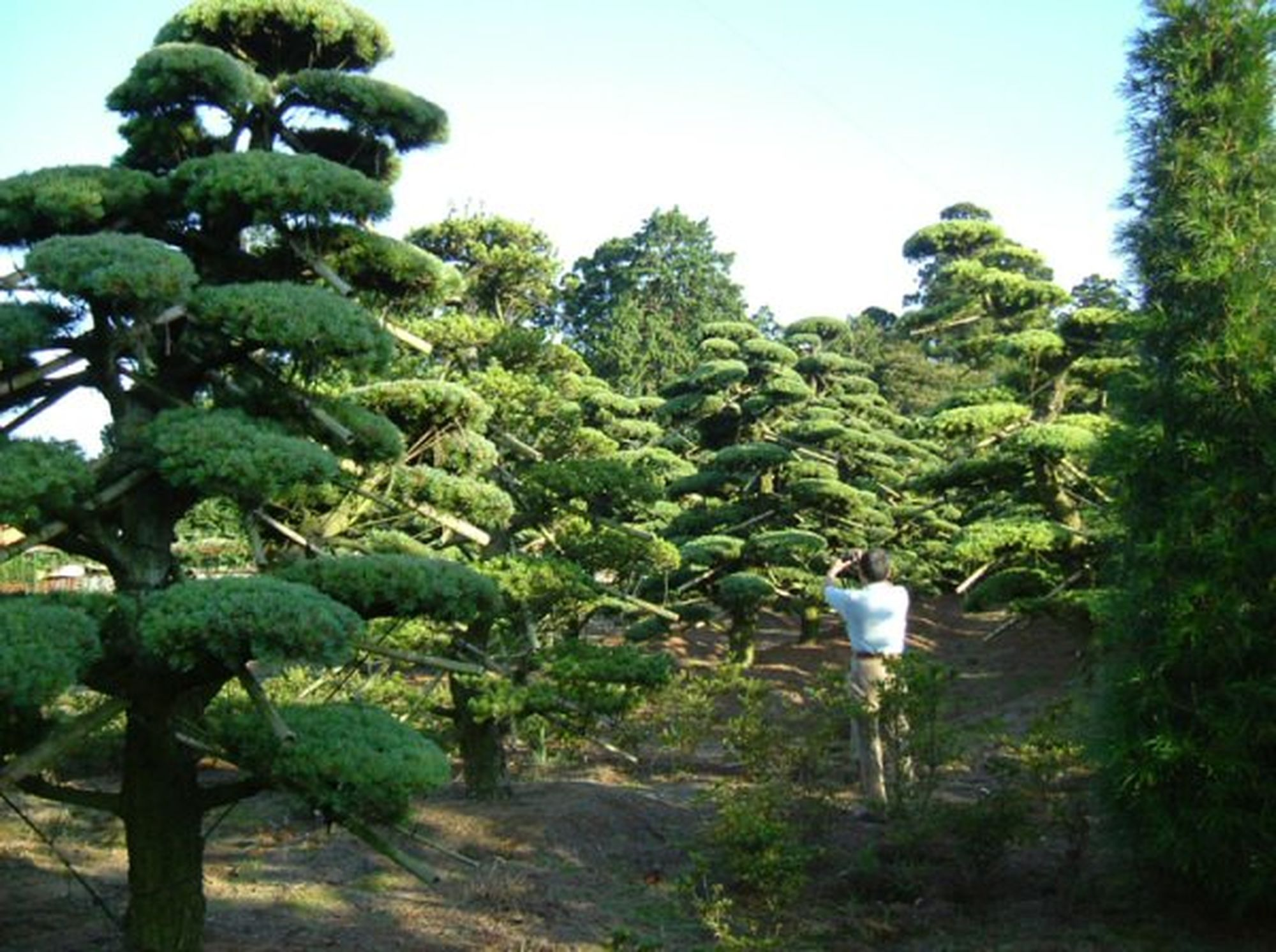 Niwaki Japanese White Pines