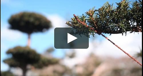 Training a Yew - a short film.