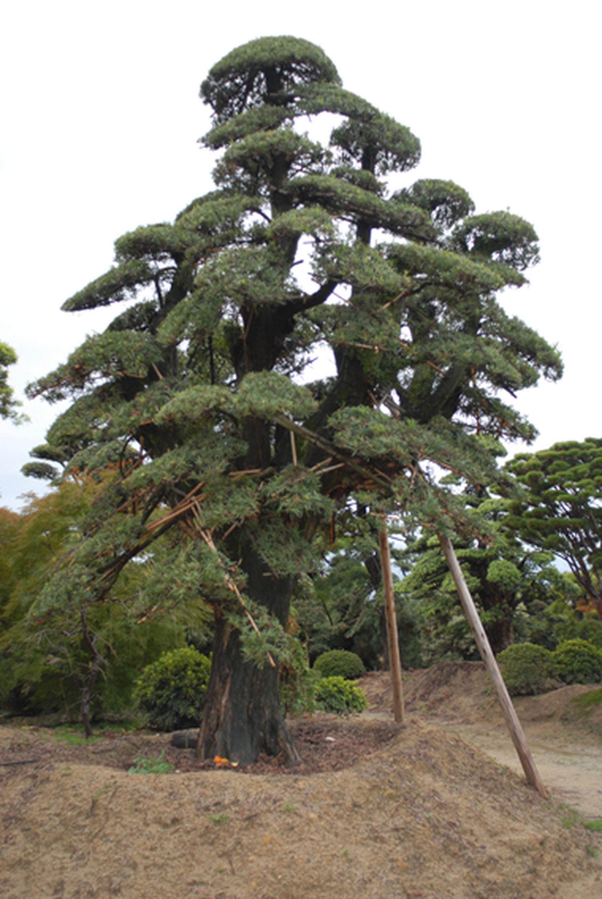 Niwaki More Trees From The Japanese Nursery