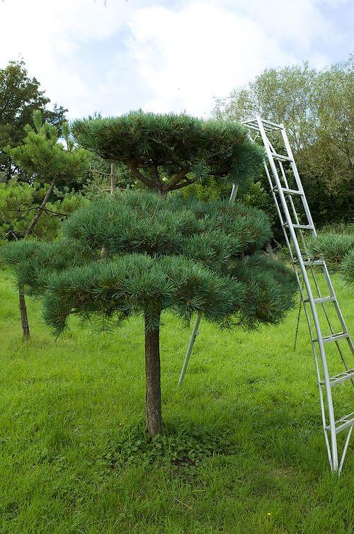 Pine Pruning 1