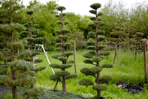 Criticise the cupressus