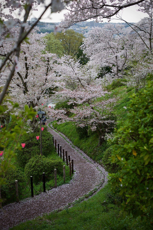 Cherry blossom at Takidanifudo