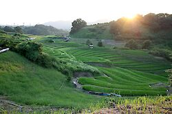 Rice fields on the way home