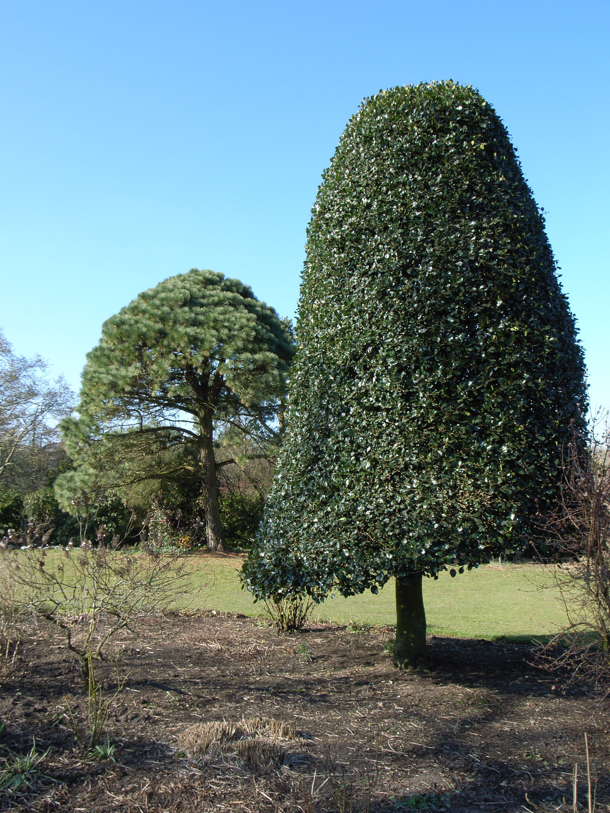 holly pinus montezuma niwaki