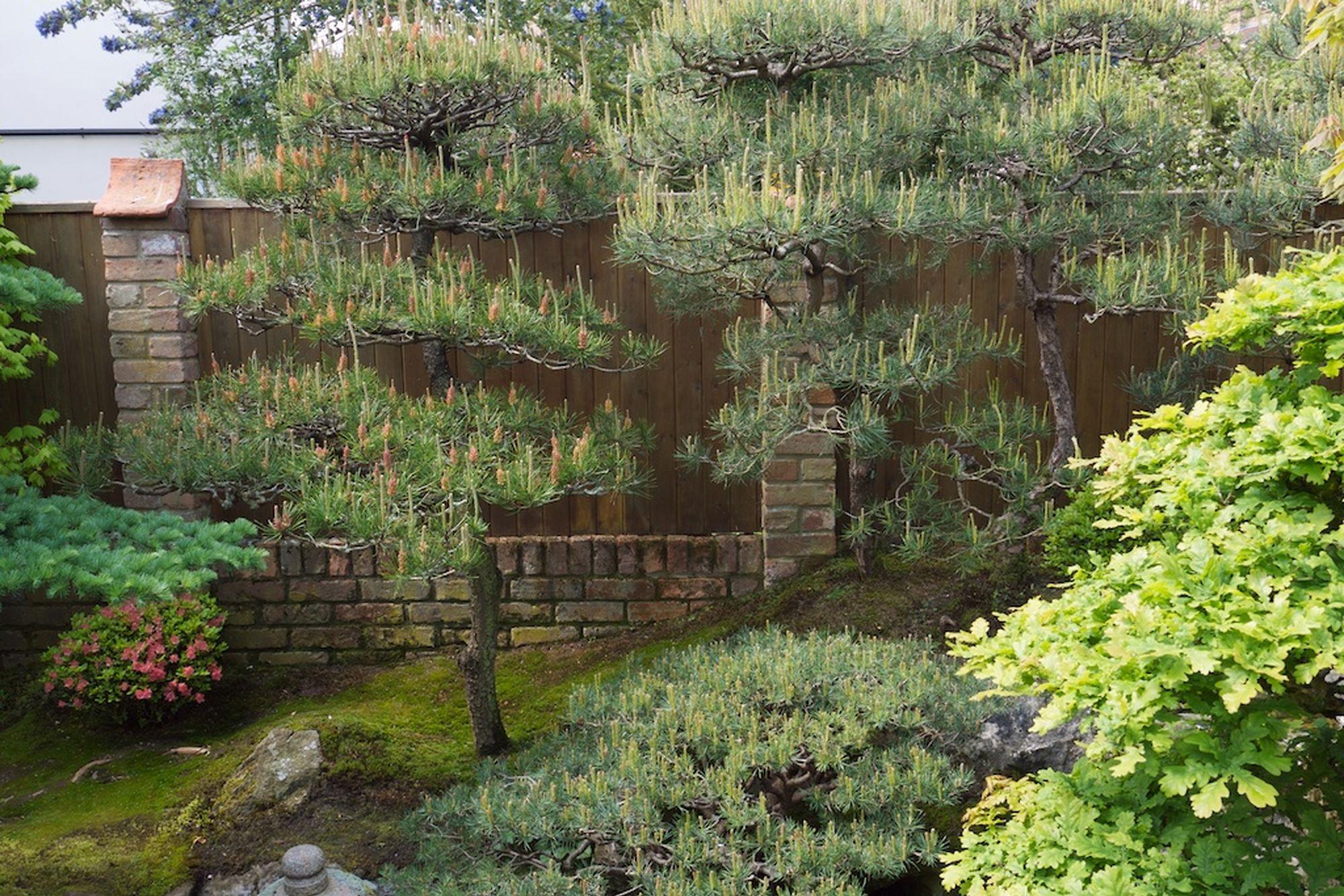 Sievert scots pines
