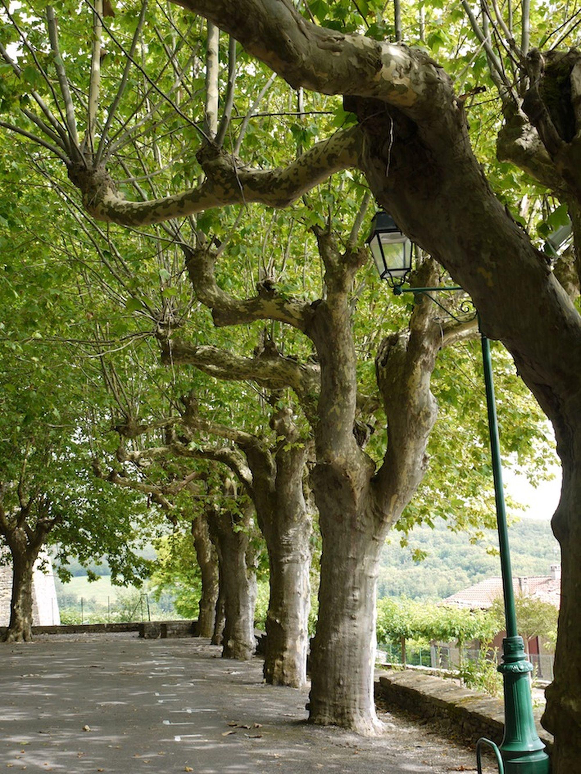 Niwaki Plane Trees In France