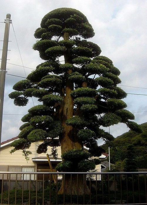 niwaki podocarpus