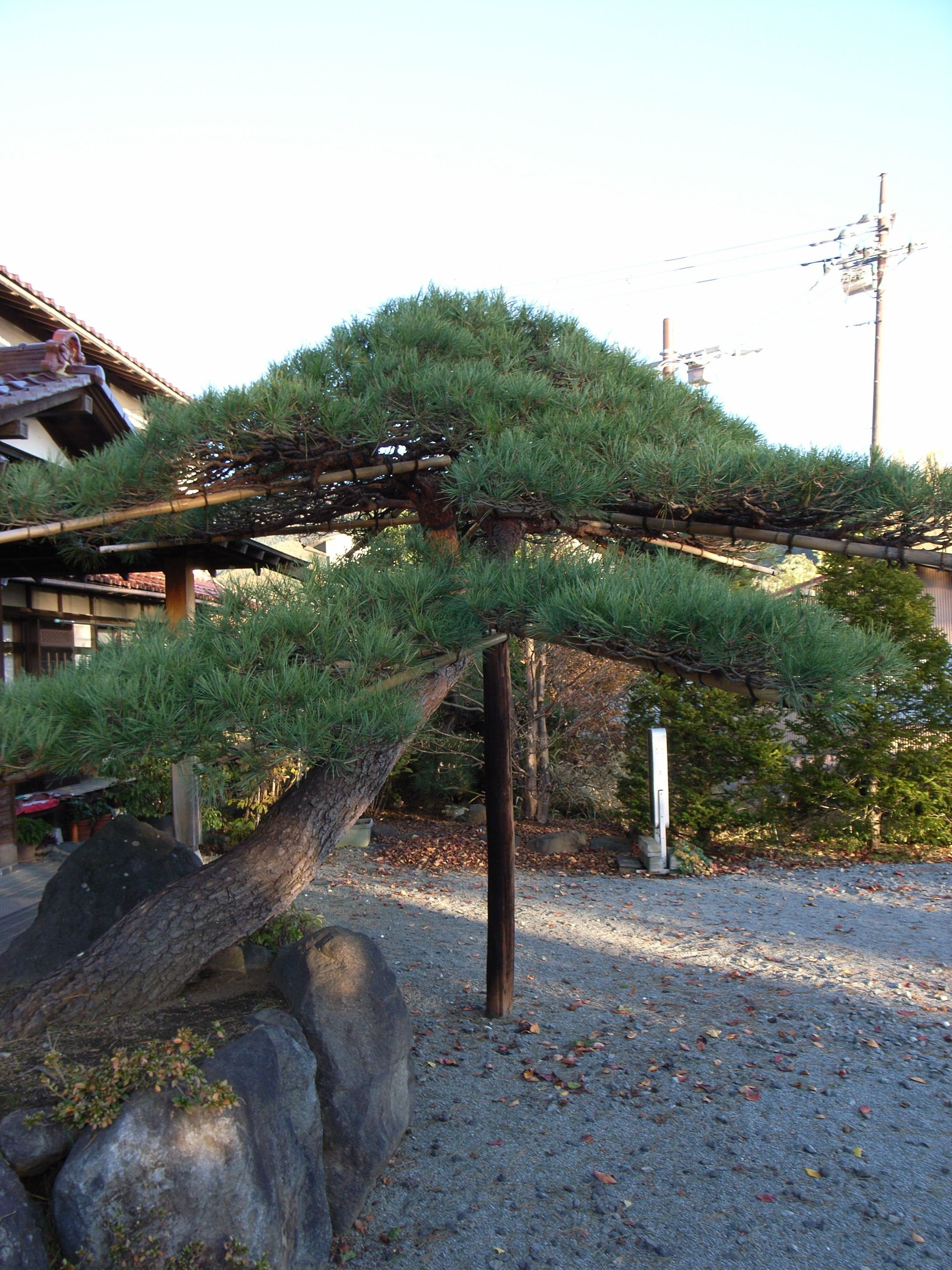 fuji- black pine