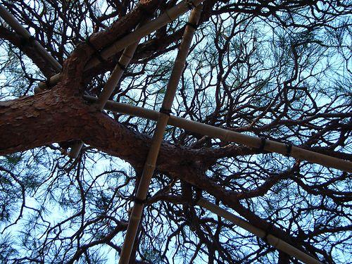 fuji- black pine view
