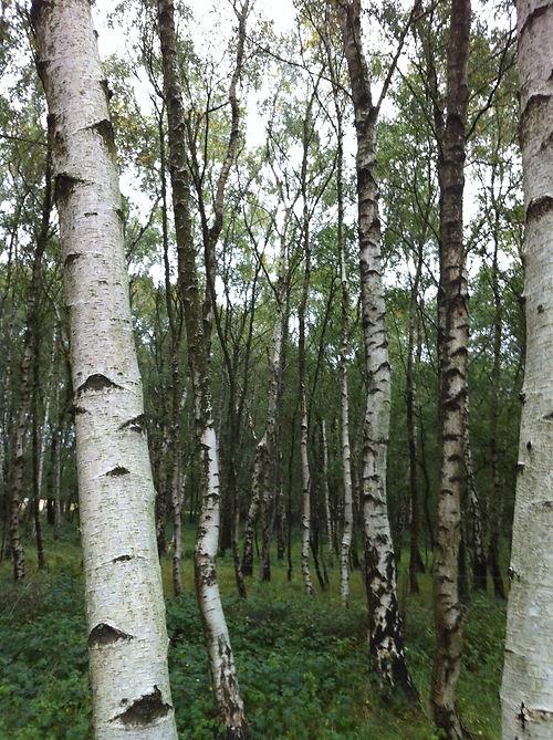 birch woodland