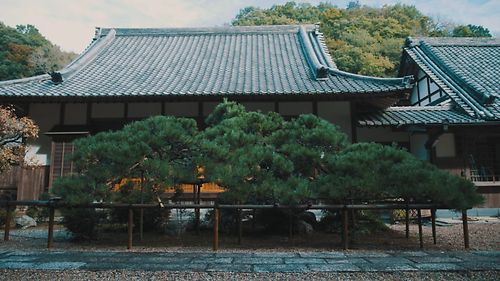 Pine Pruning at Jizo Temple